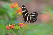 Zebra Butterfly Acrylic Prints - Dreamy Afternoon Acrylic Print by Kathy Gibbons