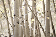Light Yellow Prints - Dreamy Aspen Woodland Print by Andrea Hazel Ihlefeld