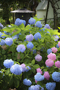 Everlasting Flower Photos - Dreamy Blue and Pink Hydrangeas by Teresa Mucha