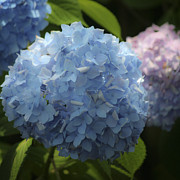 Everlasting Flower Photos - Dreamy Blue Hydrangea Squared by Teresa Mucha