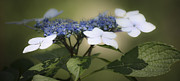 Everlasting Flower Photos - Dreamy Blue Lace Cap Hydrangea by Teresa Mucha