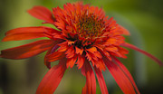 Dreamy Hot Papaya Coneflower Bloom Print by Teresa Mucha