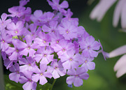 Phlox Photo Prints - Dreamy Lavender Phlox Print by Teresa Mucha
