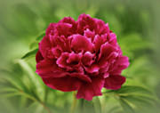 Indiana Flowers Posters - Dreamy Peony Poster by Sandy Keeton
