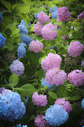 Everlasting Flower Photos - Dreamy Pink and Blue Hydrangeas by Teresa Mucha