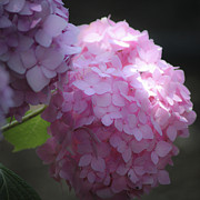 Everlasting Flower Photos - Dreamy Pink Hydrangea Squared by Teresa Mucha