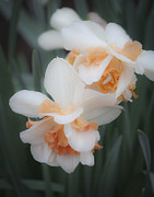 Flowering Bulb Prints - Dreamy Pink Ruffled Daffodils Print by Teresa Mucha