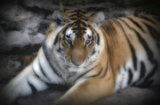 Wildlife Pyrography Posters - Dreamy Tiger Poster by Sandy Keeton