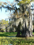 Cypress Swamps Framed Prints - Dressed In Moss Framed Print by Joy Tudor