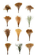 Dry Metal Prints - Dried Flowers Collection Metal Print by Olivier Le Queinec