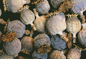 Pods Photos - Dried Opium Poppies by Alan Sirulnikoff
