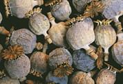 Dried Opium Poppies Print by Alan Sirulnikoff
