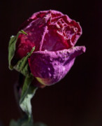 Interior Still Life Photo Metal Prints - Dried Rose Late in the Afternoon Metal Print by Robert Ullmann