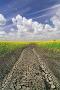 Canola Field Prints - Dried Up Machinery Tracks Print by Dave Reede