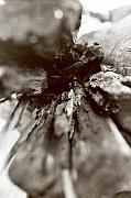 Photograpy Metal Prints - Drift Wood Metal Print by Linnea Tober
