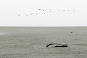 River Photos - Driftwood Log and Birds - A Gray Day On The Beach by Christine Till