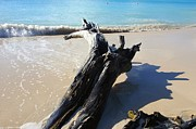 Drift Wood Framed Prints - Driftwood on Fryers Beach Framed Print by Sophie Vigneault