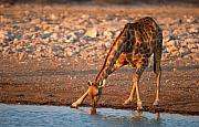 Giraffe Photos - Drinking giraffe by Johan Elzenga