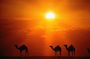 Camel Photos - Dromedaries by John Foxx