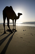 Dromedary Photos - Dromedary Camel At Sunrise Hawf by Sebastian Kennerknecht