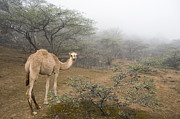 Looking Back Prints - Dromedary Camel In Cloud Forest Hawf Print by Sebastian Kennerknecht