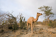 Dromedary Photos - Dromedary Camel In Overgrazed Cloud by Sebastian Kennerknecht