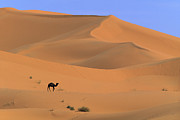 Dromedary Photos - Dromedary Camel in the Sahara by Cyril Ruoso