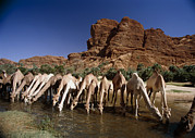 Dromedary Photos - Dromedary Camels Drinking by Doug Allan