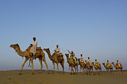 Dromedary Photos - Dromedary Camelus Dromedaries Group by Pete Oxford