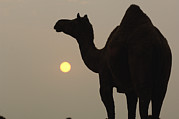 Backlighting Prints - Dromedary Camelus Dromedarius Print by Pete Oxford