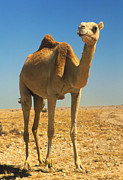 Dromedary Photos - Dromedary (single-humped) Camel In The Desert by David Parker