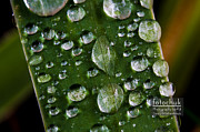 Shower Posters - Droplets resting on a Leaf Poster by Darcy Michaelchuk