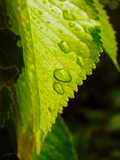 Leaf Digital Art Posters - Drops on a Leaf Poster by Dale Jackson