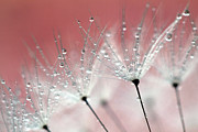 Colored Background Art - Drops On Dandelion by Kees Smans