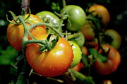 Drops On Immature Red And Green Tomato Print by Sami Sarkis