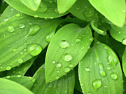 Liquid Droplets Prints - Drops On Leaves Print by Carlos Caetano