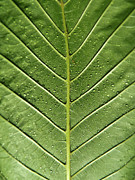 Poinsettia Leaf Posters - Drops On Poinsettia Leaf Poster by Daniel Kulinski