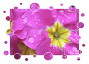 Primroses Art - Drops Upon Raindrops 3 by Carol Groenen