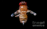 Vinegar Posters - Drosophila With Vestigial Wings Poster by Science Source
