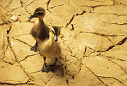 Mallard Ducklings Photos - Drought by David Aubrey