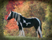 Drum Horse Photos - Drum in Fall by Laurie Comfort
