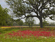 Animals And Earth Prints - Drummonds Phlox Meadow Near Leming Texas Print by Tim Fitzharris