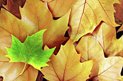 Colour Acrylic Prints - Dry Fall Leaves Acrylic Print by Carlos Caetano