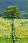 Dry Stone Wall Posters - Dry Stone Wall and Lone Tree Poster by Louise Heusinkveld