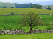 Dry Stone Wall Art - Dry Stone Wall and Twisted Tree by Louise Heusinkveld