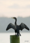 Cormorant Photos - Drying Out by Phill  Doherty