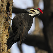 Pileated Woodpecker Photos - Dryocopus pileatus by Nina Stavlund