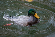 Dunking Art - Duck Bathing Series 1 by Craig Hosterman