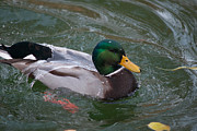 Duck Bathing Series 3 Print by Craig Hosterman