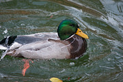 Duck Bathing Series 4 Print by Craig Hosterman